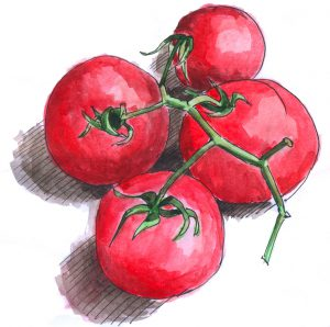 sketch tomatoes